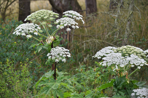 hogweed_feature_